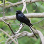 Drongo behavior