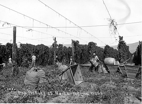 Hop-Picking-at-North-Yakima-Washington-ca.-1910-Courtesy-Sundquist-Research-Library-Yakima-Valley-Museum